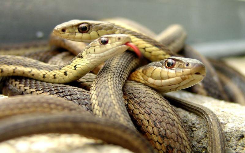 Mơ thấy 3 con rắn
