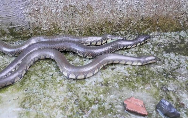 Mơ thấy 3 con rắn đánh con gì? Điềm lành hay dữ? 3