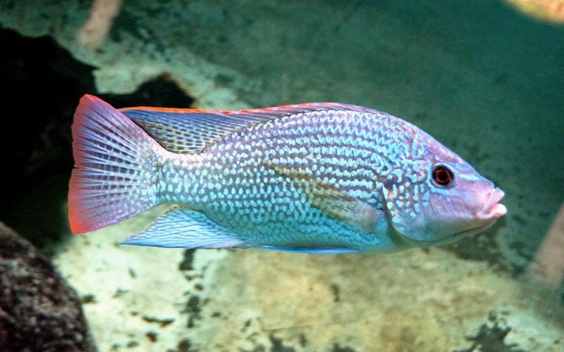 Mơ thấy cá rô ý nghĩa gì và đánh số nào vận may tấn tới? 7